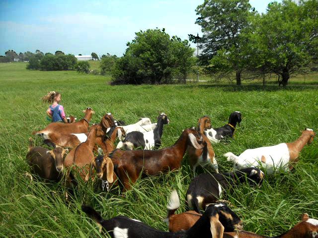 goats-in-grass2-3