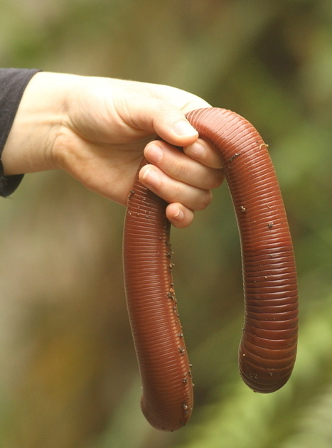 australian earthworms